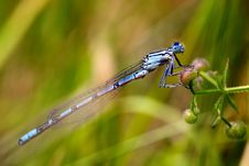 Free Azure Damselfly Stock Images - 15110534