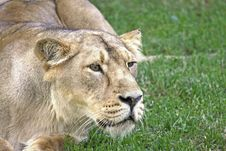 Free Lioness Stock Photography - 15110612