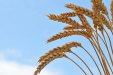 Free Wheat Close-up Stock Photography - 15110742