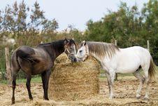 Free Horses Stock Photos - 15110783