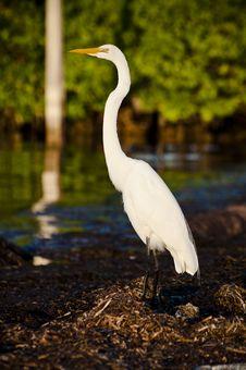 Free Great Egret Stock Photos - 15110813
