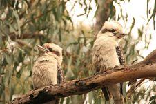 Free Kookaburra Royalty Free Stock Images - 15114099