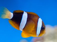 Free Amphiprion Ocellaris Stock Images - 15114494