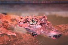 Free Crocodile Royalty Free Stock Photo - 15114545