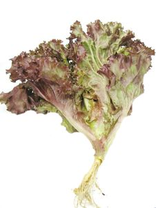 Free Fresh Salad Lettuce Vegetable Stock Photos - 15114823