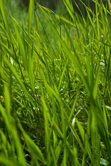 Free Long Green Summer Grass Stock Photography - 15115682