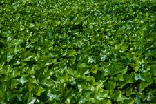 Free Carpet Of Green Leafs Stock Photos - 15115693