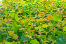 Free Carpet Of Green And Yellow Leafs Royalty Free Stock Image - 15115776