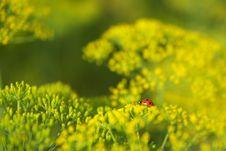 Free Ladybug On Dill Stock Photography - 15115792