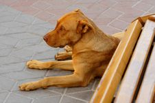 Free Lonely Red Dog Near A Bench Stock Images - 15115904