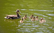 Free Mallard Duck And Ducklings Royalty Free Stock Photography - 15117307
