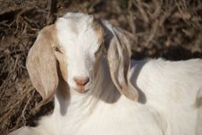 Free Baby Goat Looking Stock Photography - 15117672
