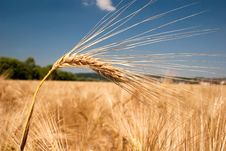 Free Ripe Barley Head Stock Images - 15118104