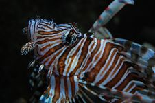 Free Lionfish Stock Photography - 15120682