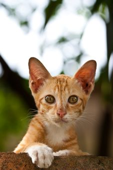 Free Orange Kitten Looking At You Royalty Free Stock Photo - 15121555