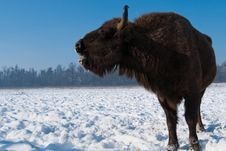Free Lowing European Bison (Bison Bonasus) Female Stock Photography - 15123592