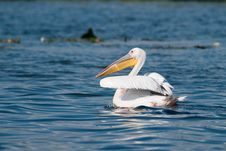Free Great White Pelican Royalty Free Stock Photo - 15123825