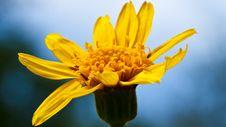Free Yellow Flower Macro Royalty Free Stock Image - 15124456