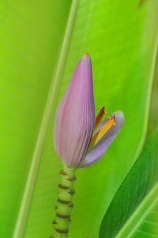 Purple Banana Blossom Royalty Free Stock Photo