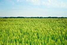 Free Field Of Wheat Stock Image - 15125341
