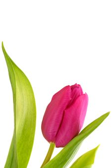 Free Tulip Stock Image - 15125611