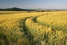 Free Barley Field Stock Image - 15126031