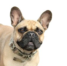 Free French Bulldog On A White Background Stock Photography - 15126382