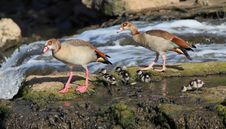 Free Egyptian Goose Family Stock Images - 15126824