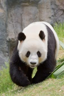 Free Giant Panda Stock Images - 15129924