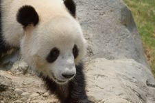 Free Giant Panda Stock Photography - 15129942