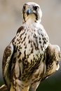Free Saker Falcon (Falco Cherrug) Stock Image - 15130731