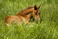 Free Foal Laying In Pasture Stock Photos - 15130893