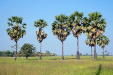 Free Palm In The Rice Field Royalty Free Stock Photos - 15130018