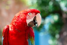 Free Red Parrot Royalty Free Stock Images - 15130119