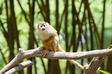 Free Squirrel Monkey Stock Image - 15130371