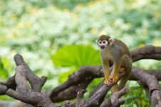Free Squirrel Monkey Royalty Free Stock Photo - 15130375