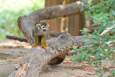 Free Squirrel Monkey Stock Image - 15130381