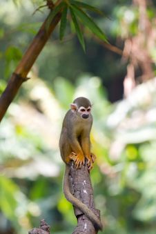 Free Squirrel Monkey Royalty Free Stock Photography - 15130387