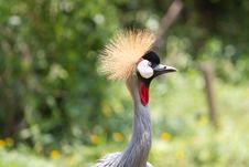 Free Grey Crowned Crane Stock Photography - 15130392