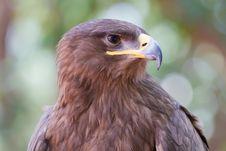 Free Red Kite Eagl Royalty Free Stock Image - 15130506