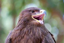 Free Red Kite Eagle Stock Photos - 15130523