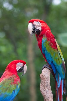 Free A Red Parrot Stock Photos - 15130723