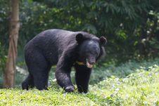 Free Black Bear Stock Photos - 15130753