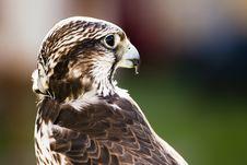 Free Saker Falcon (Falco Cherrug) Royalty Free Stock Photos - 15130758