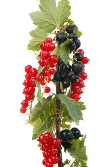 Free Branch Currants Stock Photo - 15130800