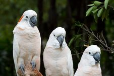 Free A White Parrot Royalty Free Stock Images - 15130929