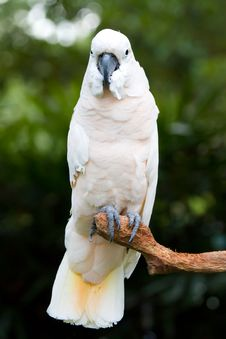 Free A White Parrot Stock Photography - 15130942