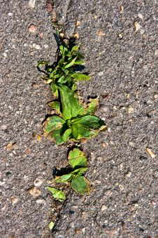 Free Young Grass Grows Throw Asphalt Royalty Free Stock Photography - 15131647