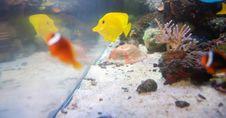 Free Yellow Tang Stock Photos - 15131803