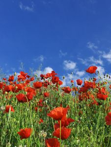 Free Red Poppys Stock Photography - 15132522